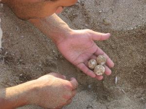 kareta-kareta-eggs