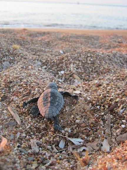 sea turtle starting its dangerous live