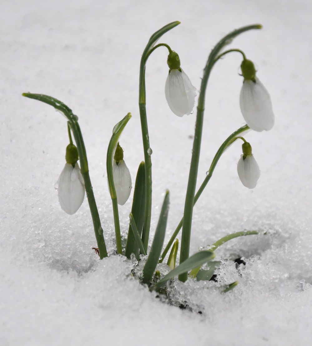 sneeuwklokjes2